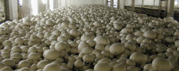 Израильтяне собрались выращивать в Саратовской области грибы
